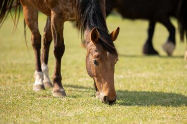 Equine Grass Sickness: Exciting times ahead for this difficult and devastating disease of horses