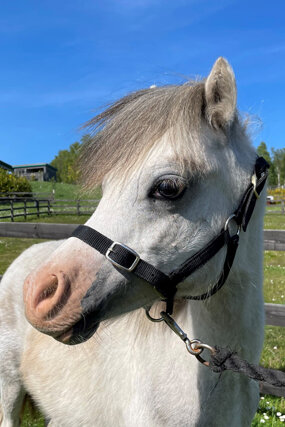 Headshot of Calderberry Sparke - white horse with head collar on